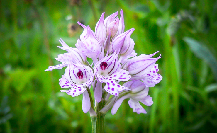 Colours of Slovenia: Wild Orchids